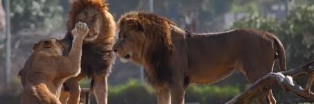 Leeuwen kijken in de dierentuin