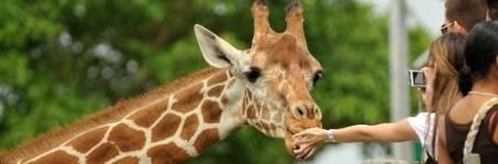 Giraffen kijken in de dierentuin