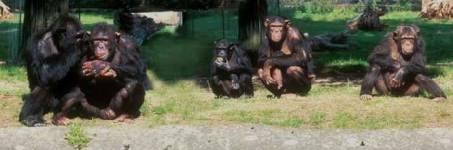 Aapjes kijken in de dierentuin