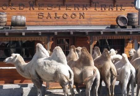 saloon kamelen